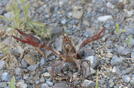 red animal: Procambarus clarkii. Crawfish with defense position, found on a road near a river. This specie is also know as american crawfish.