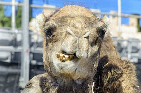 he is public: Camelus dromedarius. Dromedary, also called the Arabian camel, is showing his teeth, while he is looking us, during a public medieval festival.