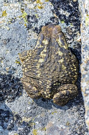 bufo bufo: Bufo bufo. Top view of beautiful olive-brown common toad, over a granite rock, in summer end season. Vibrant colors. Stock Photo