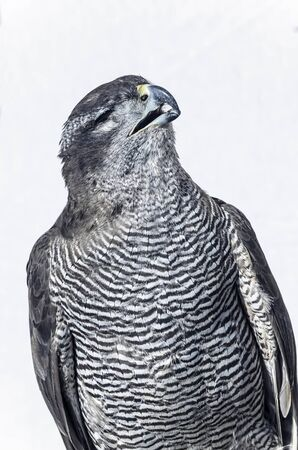 accipiter gentilis: Accipiter gentilis. Bird of prey, goshawk, blind, without one eye, was showed during a medieval festival by the streets. Stock Photo