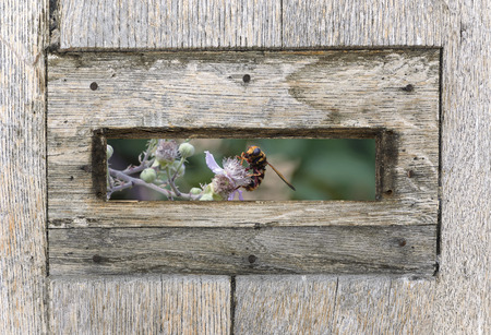 peephole: Summer end season view, from the inside of a mailbox, where a hornet is pollinating beautiful flowers of mulberry.