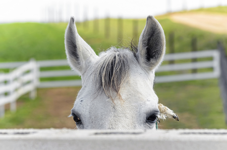 forefront: Equus ferus caballus. Beautiful white horse is looking at us, face to face, from behind of the fence. Rural scene. Green meadows. Stock Photo