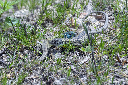 threatened: Lacerta schreiberi. Female and male iberian emerald lizard. This reptil is endemic of Iberian Peninsula -Spain and Portugal-. Male has his head blue. This specie is threatened by habitat loss. Stock Photo