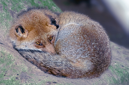 eyes opened: Vulpes vulpes. Beautiful red fox over a rock, coiled, with his eyes opened