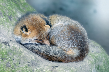 canid: Vulpes vulpes. Beautiful red fox sleeping over a rock, coiled
