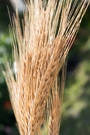 Close up of ripe wheat ears against green background. Stok Fotoğraf