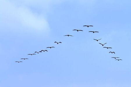 flock of birds: Flock Formation of American White Pelican Stock Photo