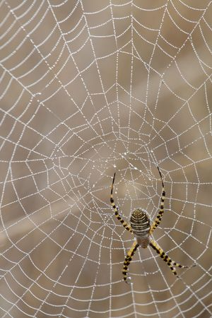 vibrations: Having completed its web which covered by morning dew, a spider awaits its prey.