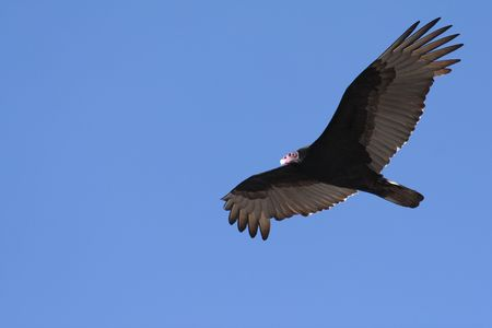 circling: Turkey Vulture circling over Shoreline, Palo Alto, California Stock Photo