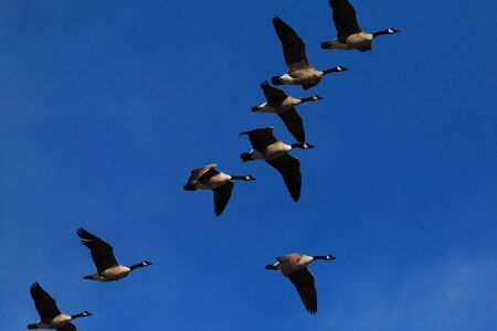 flew: A flock of Canada geese in formation