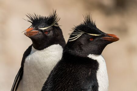 A pair of Rockhopper Penguins among rocks, Falkland Islands Stock Photo