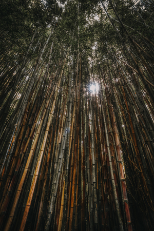 Sun breaks through dense bamboo forest, tall vertical wall of bamboo trees