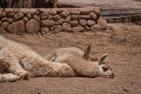Baby llama sleeping over the neck of its mother lying on dry ground in front of a stone wall