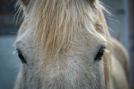 Eyes and forelock of a dappled white horse looking directly at camera in a close up cropped view