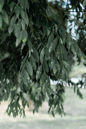 selective focus of green leaves hanging down. background with copy space.