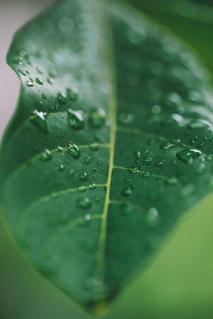 Detail macro close up shot of water droplet on ewt green leaf after rain.