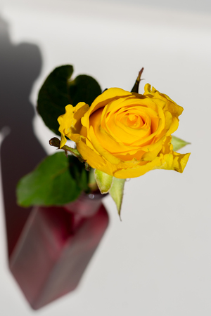 yellow rose in a red vase