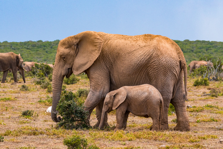 African elephant group in the national park