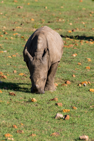 grazing rhino in south africa