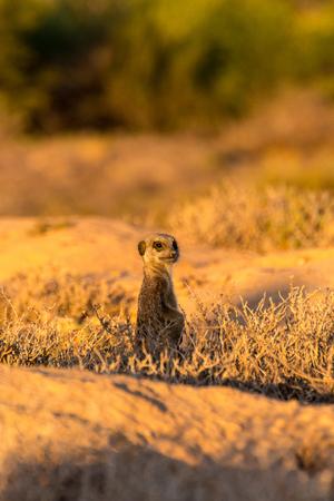 Meerkats in the morning Stock Photo