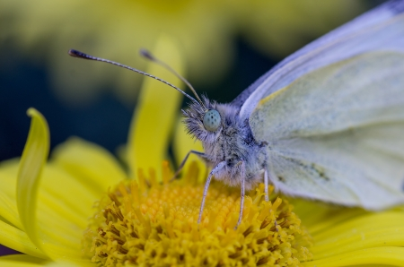 Deatail of Cabbage Butterfly sitting on yellow flower photo