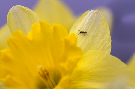 Small ant sitting on Daffodil flower photo