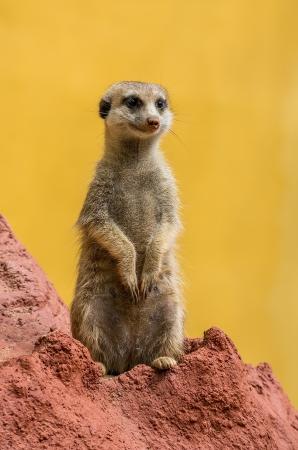 suricate: Meerkat  suricate in typical pose