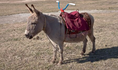 burro: Animal house. The young burro of gray color darling costs on a glade with a saddle for children