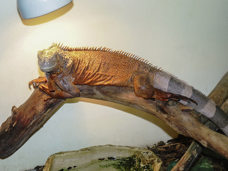 heated: The fat adult iguana of brown color is heated under a lamp on a tree trunk Stock Photo