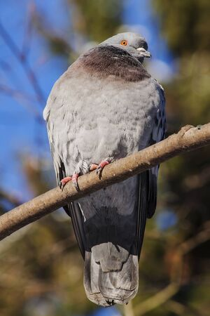 sits: Bird. The pigeon big sits gray color on a branch
