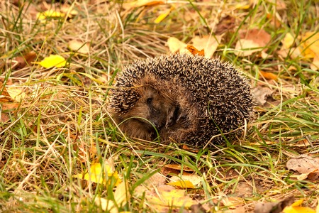 was: The young hedgehog was frightened and curled up in a ball