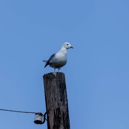 sits: The seagull sits on a wooden electric column against the blue sky Stock Photo