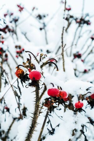 briar bush: Snowy red berries of wild rose bush in winter Stock Photo