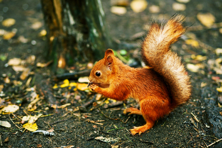 gnaw: Red squirrel gnawing nut on the ground among fallen leaves after autumn rain