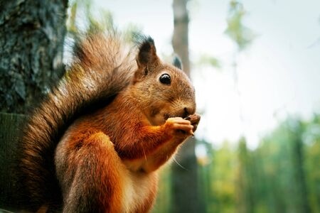 gnaw: Red squirrel sitting on feeder and gnawing nut in autumn park Stock Photo