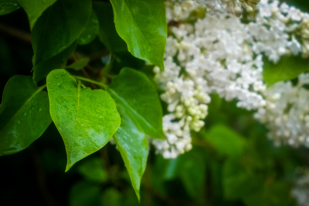wet leaf: Bush of lilac after rain with wet leaf on foreground in cloudy morning