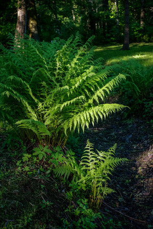 Fern under sunlight in forest in early morning Stock Photo