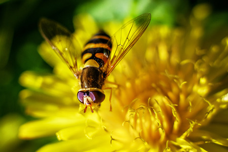 syrphidae: Hoverfly that imitating bee on flower of dandelion Stock Photo