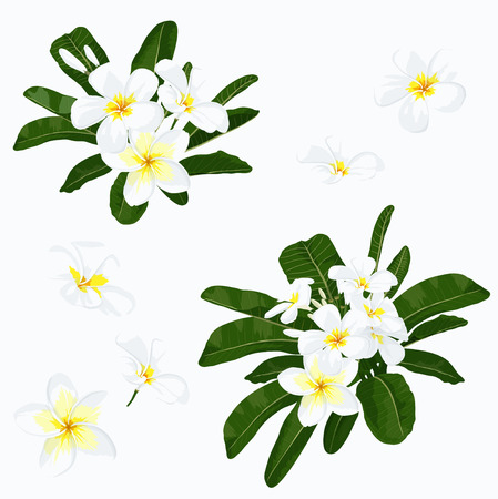 hawaiian: Plumeria set.  Tropical exotic flower -  plumeria. Realistic floral illustration. Botanical vector with plumeria. Elements for spa design. Isolated on white Illustration