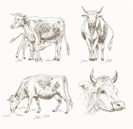 herd: Dairy cattle sketch set. Cow eating grass, cute calf drinks milk, cows head. Dairy cattle farm illustration. Drawing dairy farm animals isolated on white. Cows grazing in the meadow