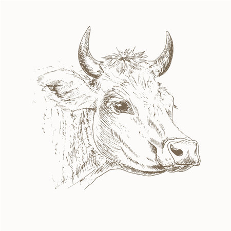 Cow head sketch. Dairy cattle illustration. Drawing cow head. Cow head isolated on white. Farm pet.