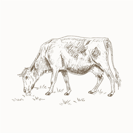 fields  grass: Cow eating grass sketch.  Dairy cattle vctor illustration. Drawing cow eating grass.  Cow eating grass isolated on white. Farm pet. Cow grazing in the meadow. Dairy farm animal