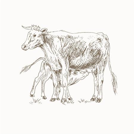 Krowa karmienia cieląt szkic. Mama i dziecko krowa. Cielę ssie mleko. Matka i dziecko krowa ilustracji. Pet Farm. Bydło mleczne. Rysunek krowa cielę karmienia. Mleczne zwierzęta gospodarskie