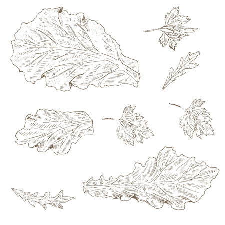 leaf lettuce: Lettuce leaf, arugula, parsley set. Sketch lettuce leaf. Hand drawn lettuce leaf, arugula and parsley . Vector Lettuce leaf illustration. Organik vegetable set. Vegetarian and vegan food.