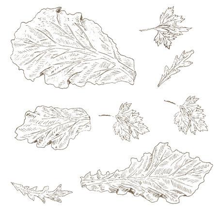 Lettuce leaf, arugula, parsley set. Sketch lettuce leaf. Hand drawn lettuce leaf, arugula and parsley . Vector Lettuce leaf illustration. Organik vegetable set. Vegetarian and vegan food.