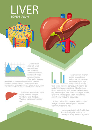 higado humano: cartel de hígado humano con infografía gráfico, diagrama y el icono. Liver lóbulos anatomía. Hígado infografía ciencia médica con la carta, diagrama. Vector de la anatomía del hígado folleto infografía con la carta