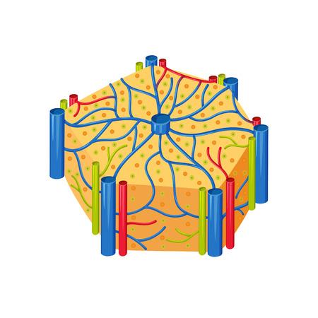 Human liver lobes anatomy. Liver lobes medical science vector illustration. Internal human organ: hepatocytes and canaliculi, hepatic artery, bile duct. Human liver anatomy education illustration