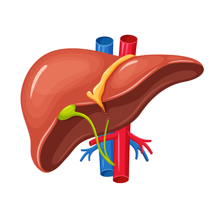 Human liver anatomy. Liver medical science vector illustration. Internal human organ: liver and gallbladder, aorta and portal vein, hepatic duct. Human liver anatomy education illustration  イラスト・ベクター素材