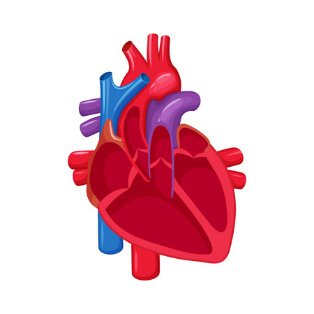 Human heart anatomy. Heart medical science vector illustration. Internal human organ: atrium and ventricle, aorta, pulmonary trunk, valve and vein. Human heart anatomy education illustration