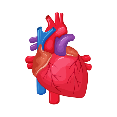 pulmonary: Human heart anatomy. Heart medical science vector illustration. Internal human organ: atrium and ventricle, aorta, pulmonary trunk, valve and vein. Human heart anatomy education illustration